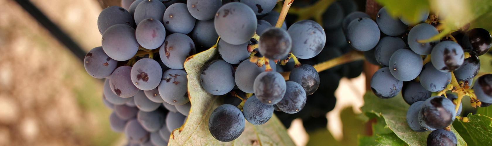 Conheça as principais uvas e suas diferenças