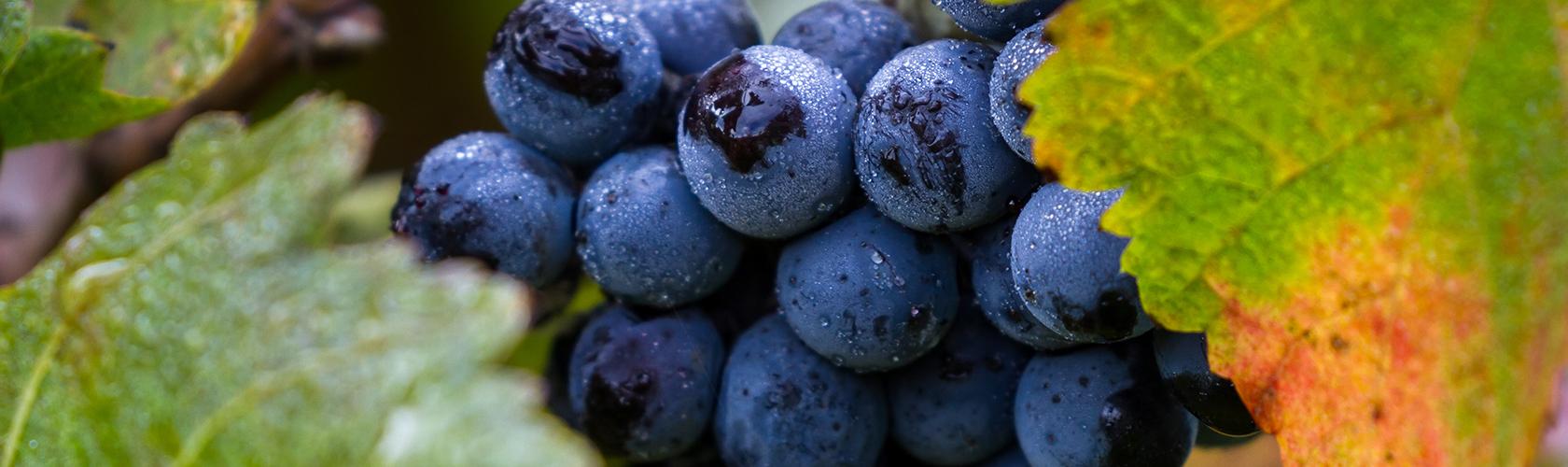 Tanino: o que é e como influi nas características do vinho